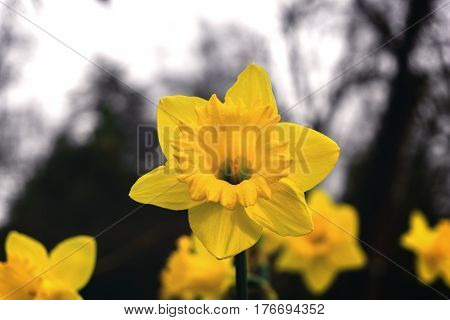 Daffodils in spring. Spring flowers. Yellow Daffodils in the morning light