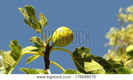 Green fig fruit ripening on a tree branch against a blue sky