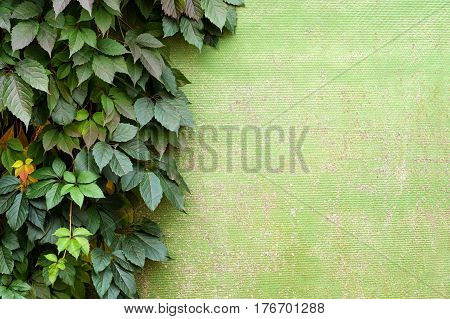 Natural frame of grape growing on the wall