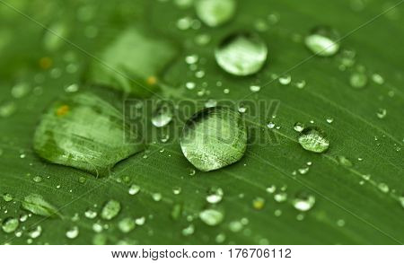 Round water drop on green leaf. Exotic garden after rain. Wet season in tropics. Tropical weather typhoon. Fresh wet leaf with rain drops. Pure ecology of wild nature. Exotic island rainy weather