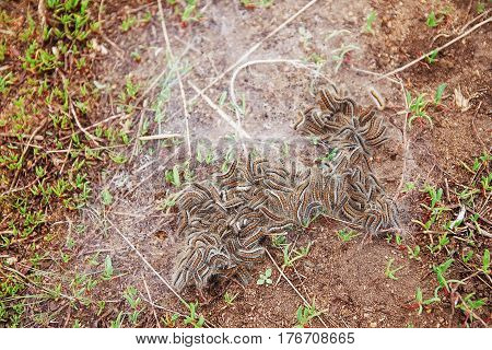 many furry caterpillars in green grass with natural cobwebs.