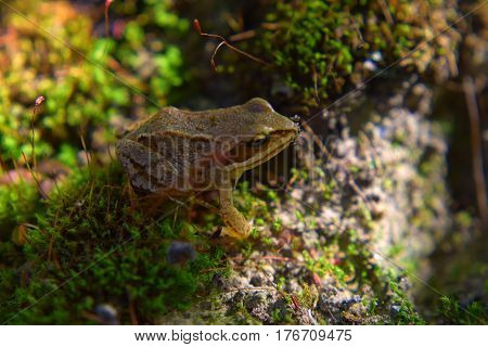 Little wild frog hides in green moss in swamp