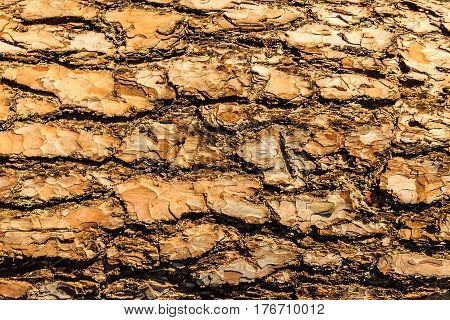 Bark Of Pine Tree Teture.