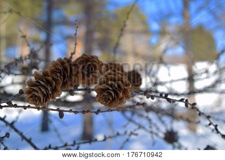 Larch Cones On A Branch On Sky And Snow Background. Central Siberian Botanical Garden, Akademgorodok