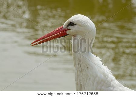 photo closeup of an alert White Stork with water in the background