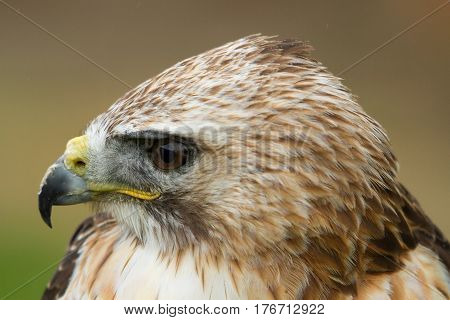 photo portrait of an alert common Buzzard
