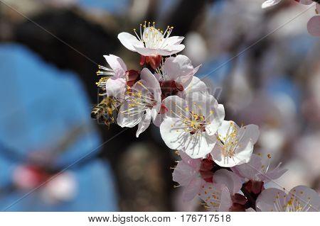 Peach tree in full blossom. Honey Bee pollinating peach flower. Tree in bloom in spring