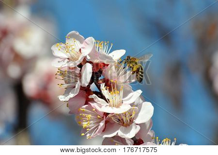 Peach tree in full blossom. Honey Bee pollinating peach flower. Tree in bloom in spring
