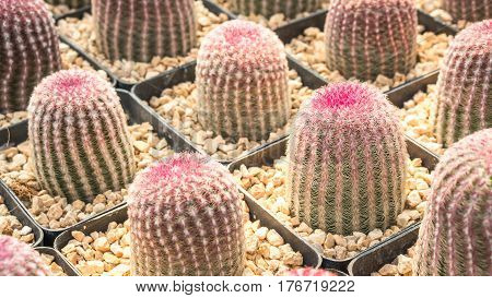 Cactus and house plant garden concept - Close up of rainbow cactus in cactus farm with day light and copy space