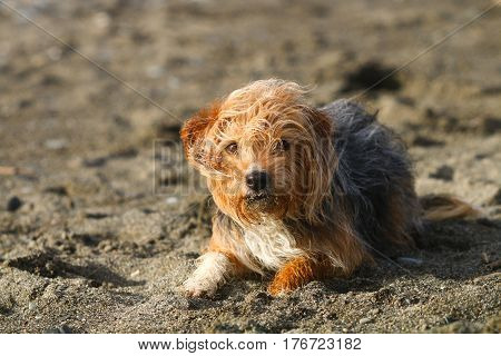 A terrier dog getting windswept on a sandy beach