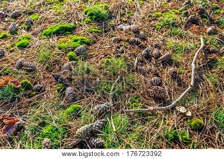 Closeup of a forest floor with moss twigs pine cones and pine needles. It is autumn now.