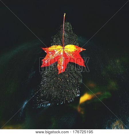 Bright Red Orange Autumn Maple Leaf Fallen In Water.