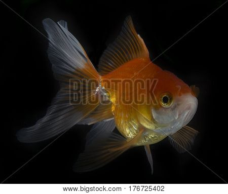 gold fish isolated on black background goldfish, fish, gold, isolated, beauty, red
