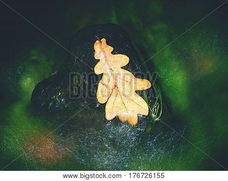 The Oak Leaf In Stream. Caught Rotten Old Oak Leaf