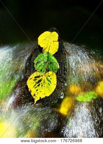Three Alder Leaves In Stream. Detail Of Yellow Green Alder Leaf