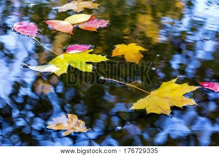 Variety of Bright Autumnal Tree Leaves Oak Maple Birch in water Puddle