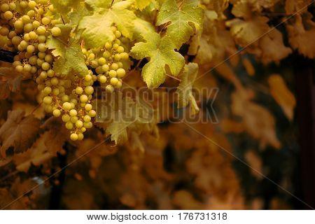 ripe grapes on the vine. vintage style