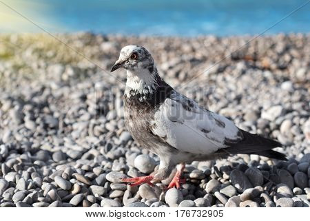 Gray pigeon on a background of gravel and sea