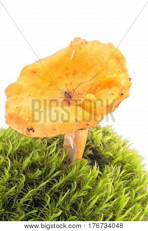 Spider Harvestmen on a mushroom Chanterelle it is isolated on a white background