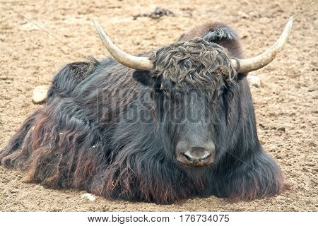 Tibetan bull has a rest on sand