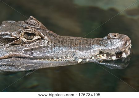 Head of a floating alligator close up