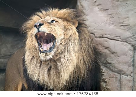 The predatory animal a lion publishes roar