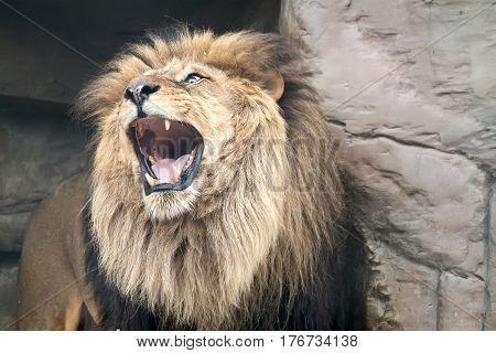 The predatory animal a lion publishes roar