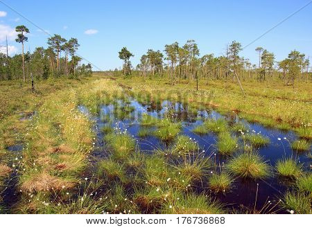 Summer.Swamp with flowering sedge in the Siberian taiga