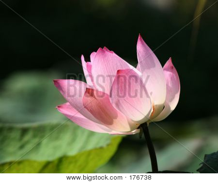 The Pink Lotus In The Garden