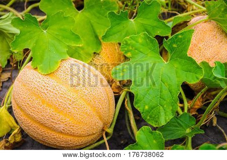 A cantaloupe growing in the garden by other cantaloupe
