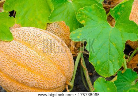 A cantaloupe growing in the garden by a leaf
