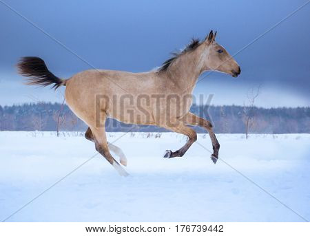 Palomino foal runs on snow in winter on blue sky background