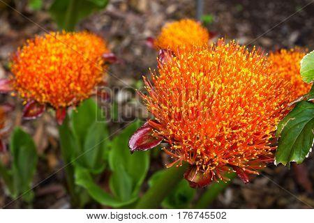 Scadoxus puniceus red blood lily flower. Paintbrush lilium