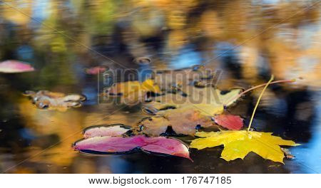 Maple and Birch Tree Leaves in rainy puddle with colourful reflection of sky and trees