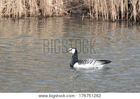 Barnacle goose (Branta leucopsis). Wild bird on the water