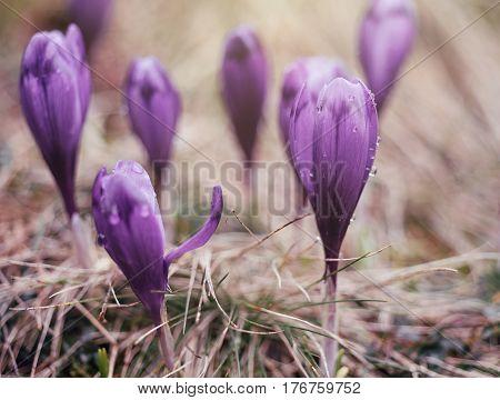 Macro photo of purple crocus flowers in spring. Vintage look