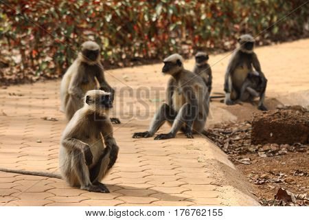 Family of monkeys sitting on the path in the park resting in summer