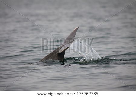 The tail of an Indian dolphin can be seen from the water, soft focus