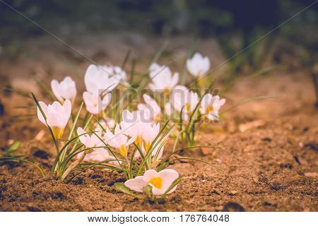 White Crocus Flowers Filtered