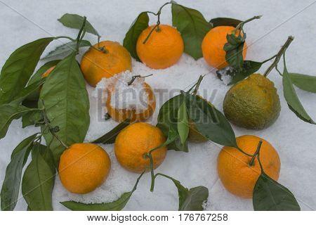 Fresh ripe mandarins on snow Mandarin over white frozen snow