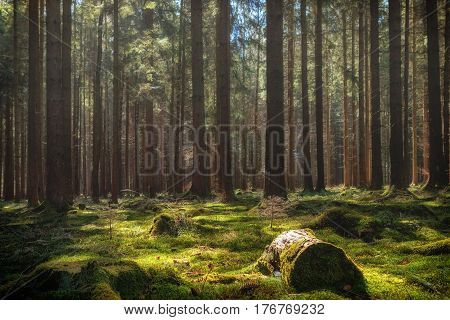 Summer pine forest landscape with green grass and moss. Photographed in Baden-Wurttemberg Germany. (harmony relaxation - concept)