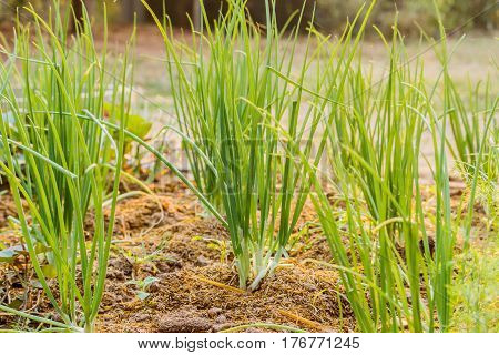 The green onions grow in a kitchen garden