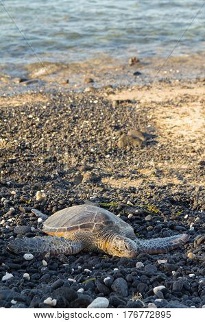 Green sea turtle resting on beach on the Big Island of Hawaii in early evening. Chelonia mydas