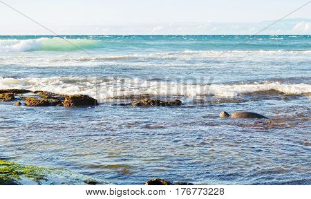 Close up of green sea turtle pausing foraging to take a breath on the Big Island of Hawaii with waves and Maui in the background.