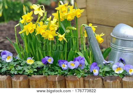 daffodils and viola bordering with watering can in a garden