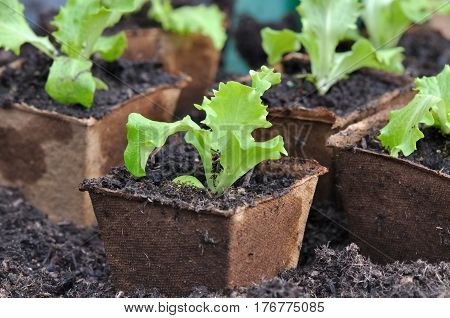 close on lettuce seedlings in biodegradable buckets