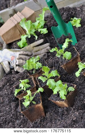salad seedlings in biodegradable buckets in a patch