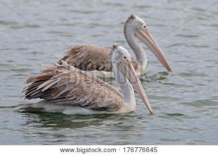 Spot-billed pelican Pelecanus philippensis Birds of Thailand