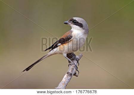 Bay-backed Shrike Lanius vittatus Birds of Thailand