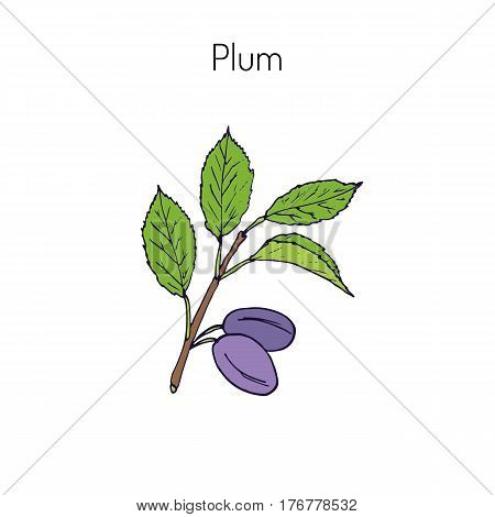 Plum branch with green leaves and plums. Botanical vector illustration